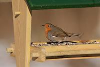 Rotkehlchen, an der Vogelfütterung, Fütterung im Winter bei Schnee, im mit Körnern gefüllten Futterhäuschen, Vogelhäuschen, Futterhaus, Vogelfutterhäuschen, Vogelfutterhaus, Vogelhaus, Winterfütterung, Erithacus rubecula, robin