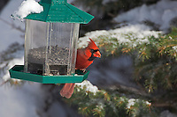 Male Northern Cardinal (Cardinalis cardinalis) in winter. Nova Scotia, Canada.