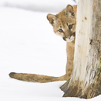 Cougar kitten peaking out from behind a tree - CA