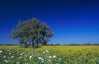 Live Oak tree and wildflower field, Lake Corpus Christi,Texas, USA