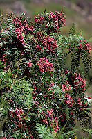 Amérique/Amérique du Sud/Pérou/Pisac : Baies de poivre rose