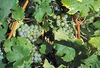 Vigneto sulla Strada del Vino.Wineyard on the Wine Route