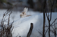 Snowshoe Hare (Lepus americanus) in Southcentral Alaska. Photo by James R. Evans