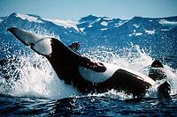 orca or killer whale, Orcinus orca, Alaska (Pacific Ocean)