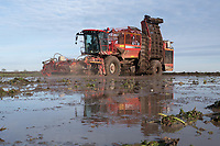 31-1-2021 Lincolnshire contractor Richard Ivatt lifting waterlogged sugar beet in the Lincolnshire fens. Record rainfall though out December and January have left many farms with flooded fields and crops laying under water.<br /> ©Tim Scrivener Photographer 07850 303986<br />      ....Covering Agriculture In The UK....