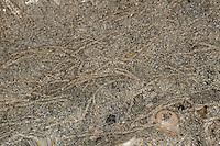 Pygospio-Wurm, Rasenringelwurm, Rasen-Ringelwurm, freigespülte Sandröhren, Wohnröhren im Watt, Wattenmeer, Pygospio elegans, tube-dweller, polychaete worm, tubeworm, spionid, tube-building polychaete, tubeworms, Spionidae