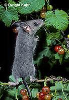 MU50-084z   Deer Mouse - immature young eating berries - Peromyscus maniculatus
