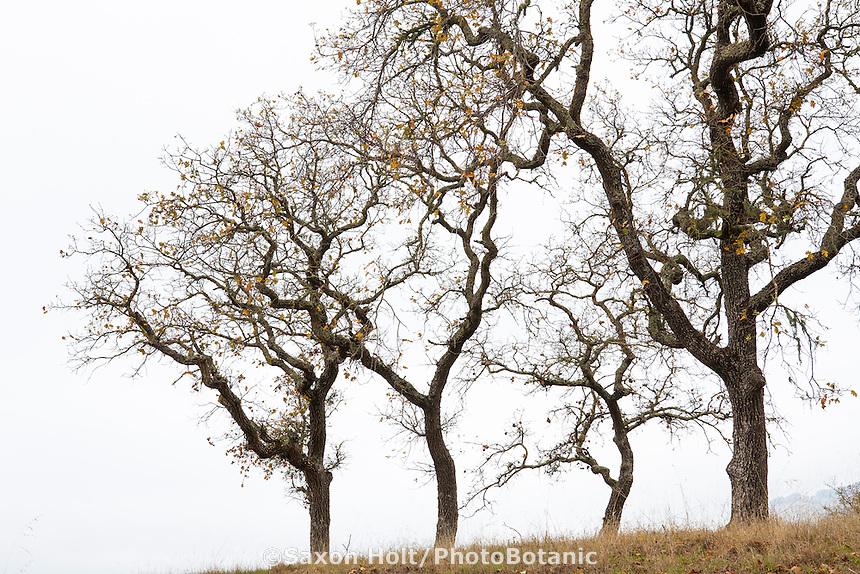 Quercus kelloggii, California Black trees in autumn silhouette branches against foggy sky at ridgeline on Pinheiro Fire Road, Rush Creek Open Space, Marin County