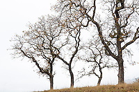 Quercus kelloggii, California Black trees in autumn silhouette branches against foggy sky at ridgeline on Pinheiro Fire Road, Rush Creek Open Space, Marin County