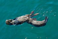 Southern sea otter, Enhydra lutris nereis, pup nursing, Monterey, California, USA, Pacific Ocean, national marine sanctuary, endangered species, vertical