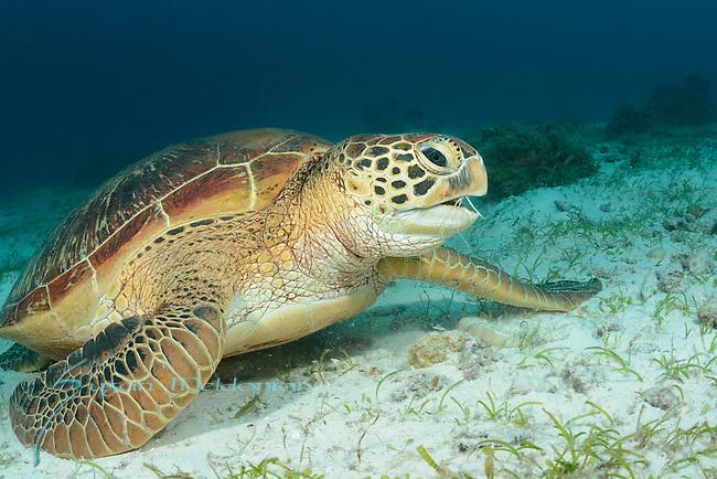 Green turtle, Chelonia mydas, Turtle Point, Panglao Island, Visayas, Philippines 2017