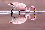 James's flamingo (Phoenicoparrus jamesi), Altiplano, Bolivia
