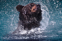 609682382 a wild adult brown bear ursus arctos explodes from a river and shakes as it hunts for salmon near hyder alaska