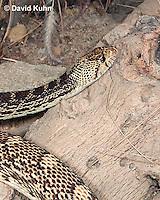 0519-1109  Gopher Snake (Pine Snake, Bull Snake), North American, Pituophis catenifer  © David Kuhn/Dwight Kuhn Photography