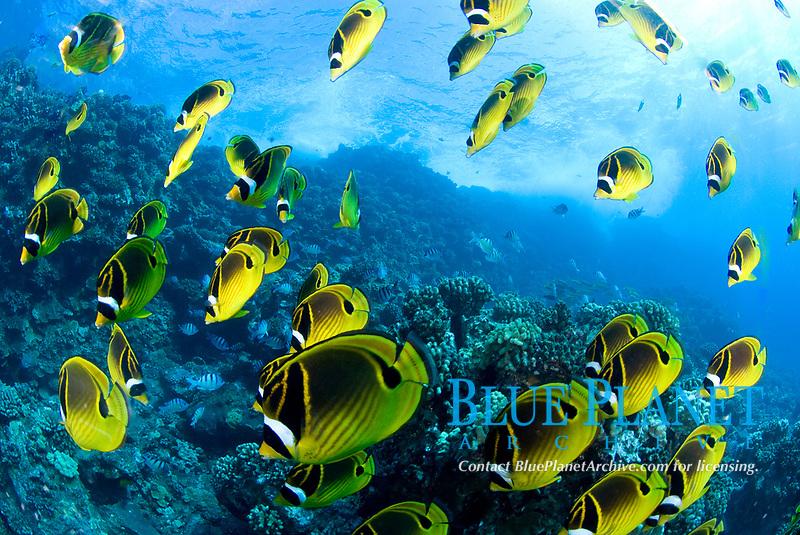 school of racoon butterflyfish, Chaetodon lunula. Maui, Hawaii