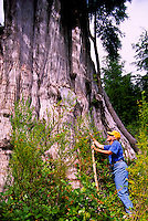 Cape Scott Provincial Park, Northern Vancouver Island, BC, British Columbia, Canada - Hiker at Base of Giant Cedar (Thuja plicata) Tree (Model Released)
