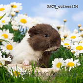 Xavier, ANIMALS, REALISTISCHE TIERE, ANIMALES REALISTICOS, photos+++++,SPCHGUINEA124,#A#, EVERYDAY ,funny