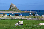 Great Britain, England, Northumberland, near Berwick-upon-Tweed: View over sheep and bay to Lindisfarne Castle on Holy Island, built in 1550