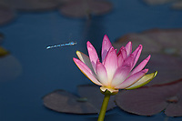 Water Lily with Dragonfly, San Angelo, TX