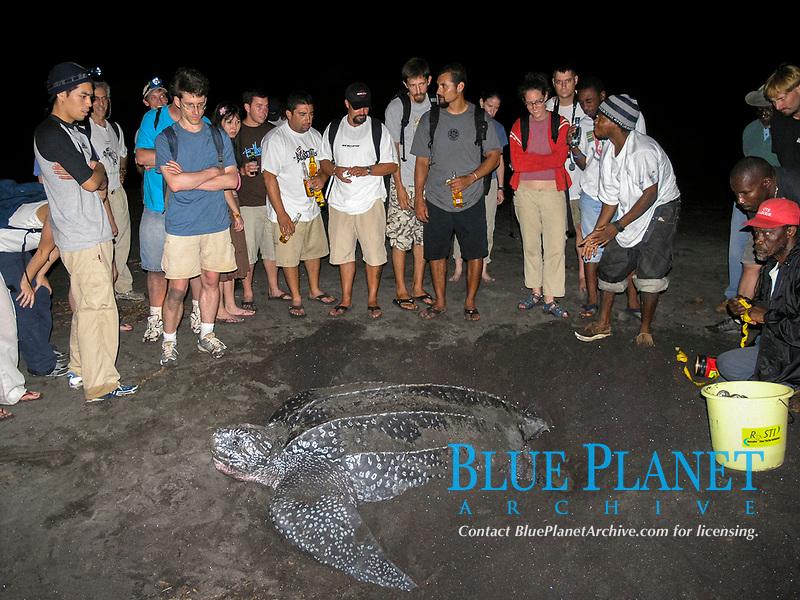 tourists watch over nesting leatherback sea turtle, Dermochelys coriacea, Dominica, West Indies, Caribbean, Atlantic