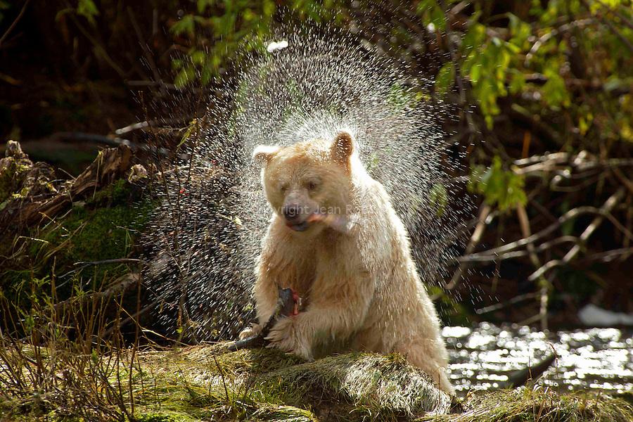 Ours Kermode. Baptisée mooksgmol ou ours esprit par les Nord amérindiens, cette étrange créature est un ours noir blanc. Ile de Gribbel. Ce n est ni un albinos ni un ours polaire,mais une sous espece blanche de l ours noir nord americain  Du fait de son apparence fantomatique, les Amerindiens ne l'ont jamais chasse et ont longtemps cache son existence aux trappeurs qui sillonnaient les forets de la cote. Un secret si  bien garde que son existence na ete confirmee par le monde scientifique quen 1904. Aujourd'hui on estime qu entre 400 à 1000 ours esprits vivent dans la foret pluviale qui setend entre lAlaska et le nord de l ile de Vancouver. ..<br /> Spirit bear. The Kermode bear (Ursus americanus kermodei also known as a spirit bear for the Native tribes of  Britsh Colomba is a subspecies of the American Black Bear. They are not albinos and not any more related to polar bears. the spirit bear population is estimated at 400-1000 individuals. Gribbel island