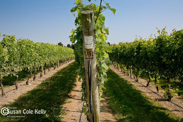 Grapes on the vine at Newport Vineyards,  Newport, Narragansett Bay, RI, USA