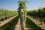 Grapes on the vine at Newport Vineyards,  Newport, Narragansett Bay, RI, USA