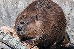North American Beaver chewing on wood medium shot