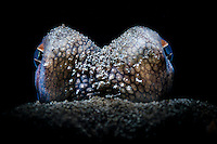 Coconut octopus (Amphioctopus marginatus) eyes close-up snooted black background