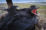Common Raven (Corvus corax) nestlings. This nest is on a man-made tower. Artificial nest sites like this have enabled this species to nest in many areas where it historically did not. This has led to increased predation on may Arctic nesting birds, nests and young. Chukotka, Russia. July.
