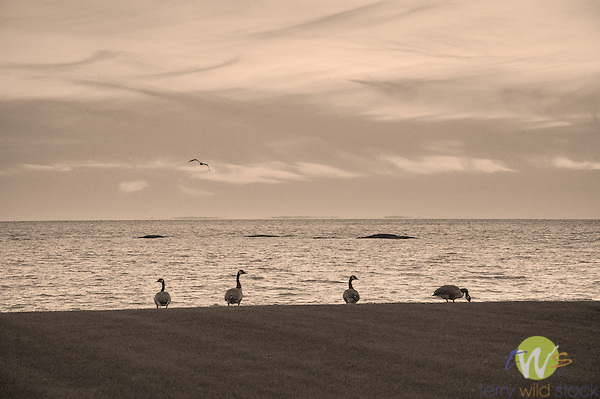 Beach Rose Cottage, Middle Beach Road, Madison, CT. Dusk with four geese on lawn.