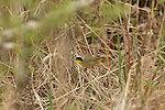 Common Yellowthroat - Male