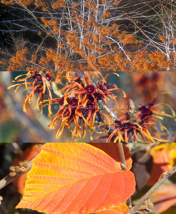 Hamamelis Jelena witchhazel  in two phases, winter flower and autumn fall foliage color