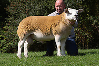 1.9.2020 Texel Sheep Society English National Sale<br /> Lot 333 Sportsman Dreadnought owned by Boden & Davies Ltd sold for 3300 gns<br /> ©Tim Scrivener Photographer 07850 303986<br />      ....Covering Agriculture In The UK.