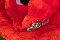 Gewöhnliche Schmalbiene, Schmalbiene, Gemeine Furchenbiene, Furchenbiene, Weibchen, Blütenbesuch auf Mohn, Lasioglossum cf. calceatum, Halictus cf. calceatum, Common furrow bee, furrow bee, female, Schmalbienen, Furchenbienen, Halictidae, furrow bees