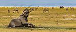 African bush elephant (Loxodonta africana) enjoys a mud bath, Amboseli National Park, Kenya<br /> <br /> Canon EOS-1D X, EF200-400mm f/4L IS USM lens, f/8 for 1/4000 second, ISO 4000