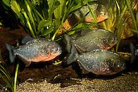 Natterers Sägesalmler, Roter Piranha, Piranja, Serrasalmus nattereri, Pygocentrus nattereri, Rooseveltiella nattereri, convex-headed piranha, Natterer's piranha, red piranha, red-bellied piranha