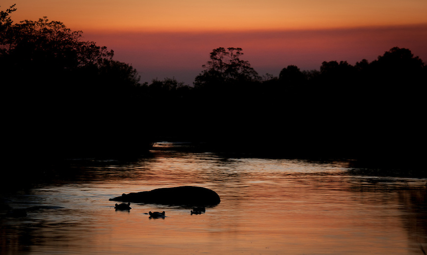 In Africa, darkness envelopes one with astonishing haste. Hippos wait in their respective pools for the night to gather before venturing out for neighbouring pastures.