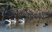 American White Pelicans, Pelecanus erythrorhynchos, and American Coots, Fulica americana, swimming at Lower Klamath National Wildlife Refuge, Oregon