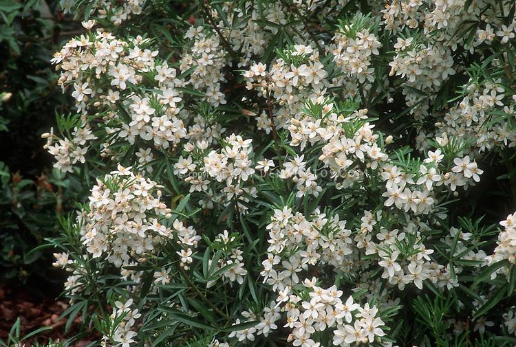 Choisya 'Aztec Pearl' white flowering shrub bush