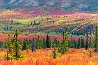 Autumn tundra and taiga, spruce trees and dwarf birch, Denali National Park, Alaska.