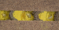 Rote Mauerbiene, Entwicklung, 3. frisch geschlüpfte Larve, Larven, Made, Maden in Brutkammer mit Pollen und Trennwand aus Lehm. Entwicklungsreihe Entwicklungsstadien, Brutröhre, Niströhre im Querschnitt, Brutkammer, Brutkammern, Rostrote Mauerbiene, Mauerbiene, Mauer-Biene, Nest, Neströhre, Niströhren, Wildbienen-Nisthilfe, Wildbienennisthilfe, Osmia bicornis, Osmia rufa, red mason bee, mason bee, L'osmie rousse, Mauerbienen, mason bees