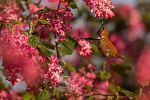 Male Rufous Hummingbird (Selasphorus rufus) nectaring on red-flowering currant.  Western Washington.  April.
