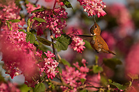 Male Rufous Hummingbird (Selasphorus rufus) nectaring on red-flowering currant.  Western Washington.  April.