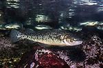 atlantic cod swimming right