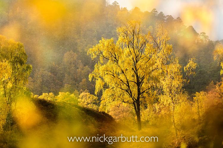 Downy Birch (Betula pubescens) changing to autumn colours. Caledonian pine forest, Glen Strathfarrar, Scottish Highlands. Scotland. October.
