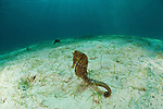 Common seahorse(Hippocampus kuda) in the sandy seagrass.