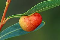 Weidengallenblattwespe, Weidengallen-Blattwespe, Weidenblattwespe, Weiden-Blattwespe, Galle an Purpurweide, Salix purpurea, Pontania viminalis