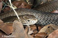 0503-1101  King Cobra (India, Largest Venomous Snake in the World), Ophiophagus hannah  © David Kuhn/Dwight Kuhn Photography