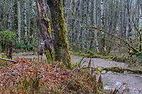 Columbian black-tailed deer (Odocoileus hemionus columbianus) doe on rainy fall day.  Olympic National Park, WA.  November.